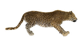 Big Cat Leopard. 3D digital render of a big cat leopard isolated on white background Royalty Free Stock Photography