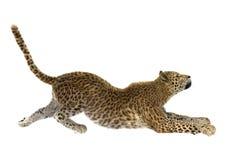 Big Cat Leopard Stock Photos