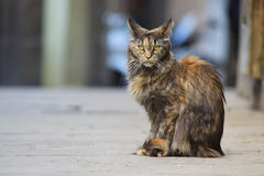 Big cat maine coon sitting on the street Stock Image