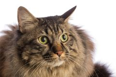 Big cat norvegian, feline with long hair. On white background Royalty Free Stock Photos