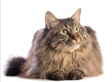 Big cat norvegian, feline with long hair. On white background Royalty Free Stock Photo