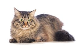 Big cat norvegian, feline with long hair. On white background Royalty Free Stock Images