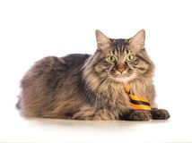 Big cat norvegian with yellow tie. On white background Royalty Free Stock Photo