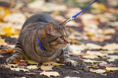 Big cat with orange eyes in the autumn park Stock Images
