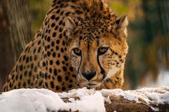 Big cat. Portrait of leopard. Photography of wildlife Stock Image