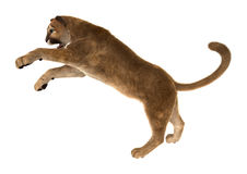 Big Cat Puma Stock Image