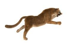 Big Cat Puma Stock Photos