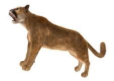 Big Cat Puma Royalty Free Stock Image