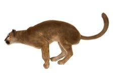 Big Cat Puma Royalty Free Stock Photography