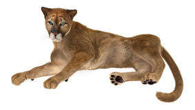Big Cat Puma. 3D digital render of a big cat puma resting isolated on white background Stock Photography