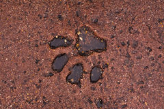 Big cat's footprint Royalty Free Stock Photography