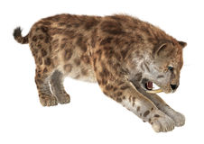 Big Cat Sabertooth Royalty Free Stock Photography