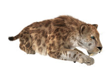 Big Cat Sabertooth Stock Images