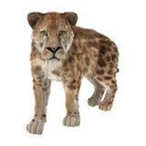 Big Cat Sabertooth Royalty Free Stock Photos