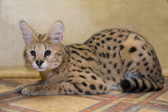 Big cat serval at home Royalty Free Stock Photos