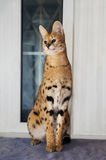 Big cat serval at home Royalty Free Stock Image