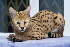 Big cat serval at home Stock Image