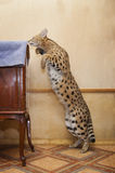 Big cat serval at home Stock Images