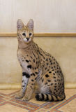 Big cat serval at home Stock Photography