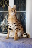 Big cat serval at home Stock Photo