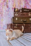 Big cat sits near vintage suitcases. Thai white with red marks cat with blue eyes sits near vintage suitcases on a pink background toned picture close-up shallow Stock Photography