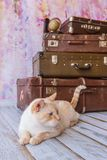 Big cat sits near vintage suitcases. Thai white with red marks cat with blue eyes sits near vintage suitcases on a pink background toned picture close-up shallow Stock Photos