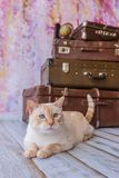 Big cat sits near vintage suitcases. Thai white with red marks cat with blue eyes sits near vintage suitcases on a pink background toned picture close-up shallow Royalty Free Stock Photography