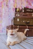 Big cat sits near vintage suitcases yawns Stock Photos