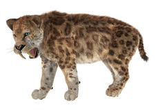 Big Cat Smilodon Stock Images
