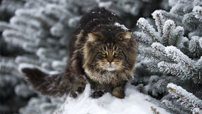 Big cat on the snow forest winter Stock Images