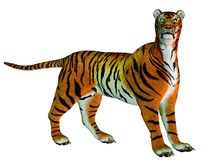 Big cat tiger standing Stock Images