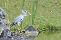 Big Catch. Heron caught a big fish Royalty Free Stock Image