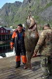 Big catch on Lofoten Islands. Two fischer on Lofoten islands, Norway with a big catch: a halibut of 94 kg Royalty Free Stock Photos
