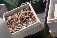 Big catch of mullet fish in box on fishing boat Royalty Free Stock Images