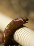 Big caterpillar Royalty Free Stock Image