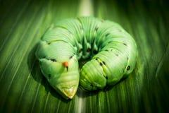 Big caterpillar Royalty Free Stock Images