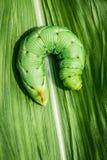 Big caterpillar Stock Photo