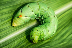 Big caterpillar Royalty Free Stock Images