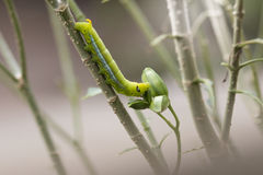 Big caterpillar green eating on tree. Royalty Free Stock Photos