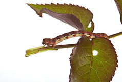Big caterpillar on a green leaf. Green leaf damaged by caterpillars in summer to a garden Royalty Free Stock Images