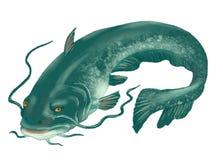 The big catfish. On a white background Stock Photo