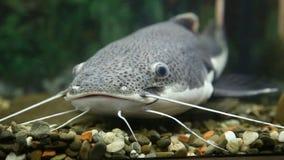 Big catfish stock video footage