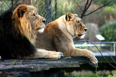 Big Cats Stock Images