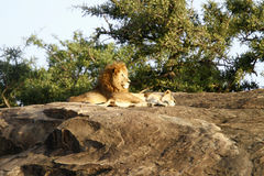Big Cats. African lions, one of the Big Five Stock Photo