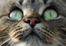 Big cats eyes Stock Photography