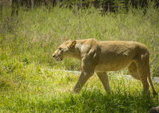 Big Cats Royalty Free Stock Images