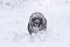 Big Caucasian Shepherd Dog. In a snow royalty free stock images
