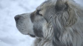 Asia dog poortret close up. Big central asia dog portrait stock video footage