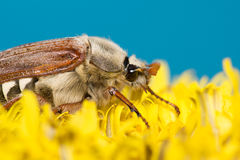 The big Chafer. Huge chafer climbed into the yellow flower on sky Stock Image
