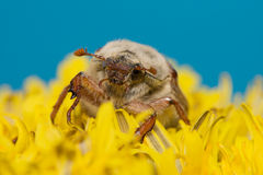 The big Chafer. Huge chafer climbed into the yellow flower on sky Royalty Free Stock Images